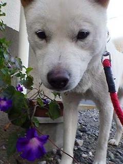 asagao2011242.jpg