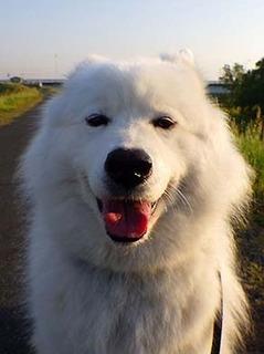 Resultado de imagen para great pyrenees 犬 あくび