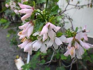 sakura2010021.jpg